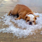 bulldog-on-ice
